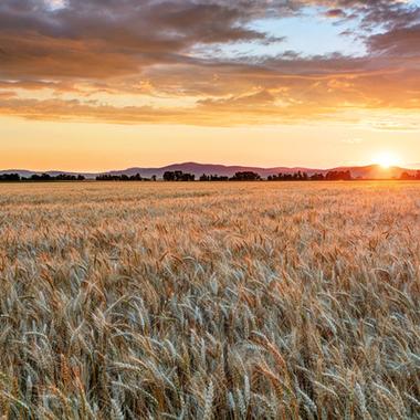 小麦戦略−2